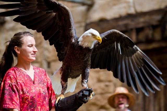 flights-wonder-bald-eagle-disneys-animal-kingdom copy