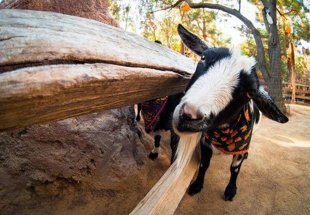 fisheye-disneyland-goat
