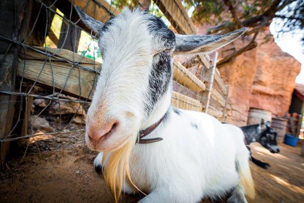 goat-galaxy-disneyland-501
