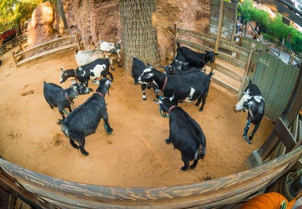 goat-galaxy-disneyland-running-goats-500