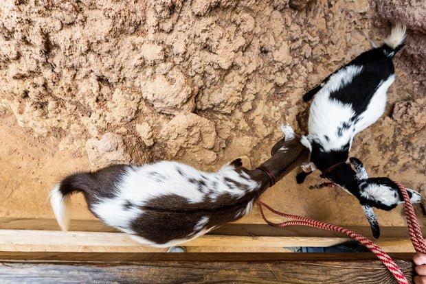 goats-bianca-kronk-disneyland