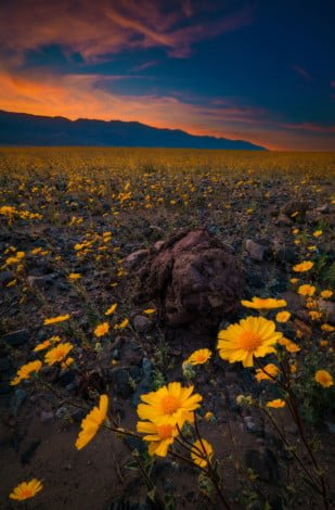 super-bloom-death-valley-national-park-ultra-wide-sunset-v2 copy