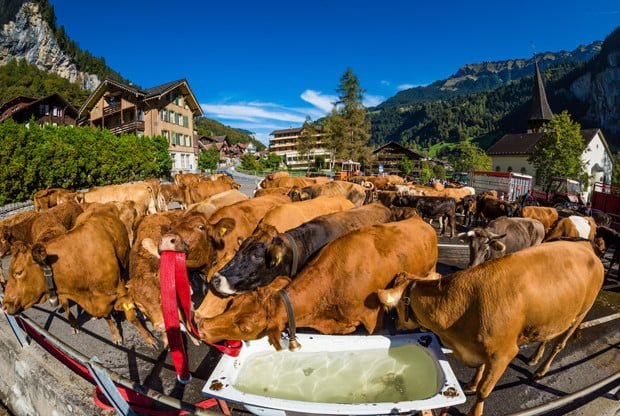 lauterbrunnen-switzerland-swiss-alps-cows-427